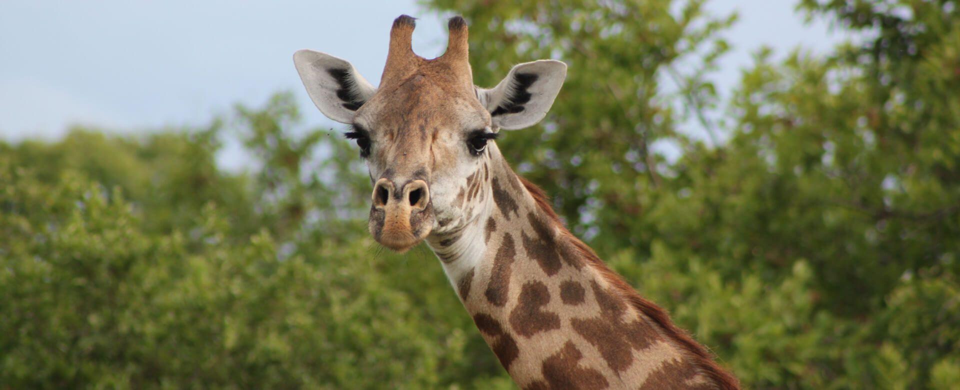 Upepo Safari - Giraffe