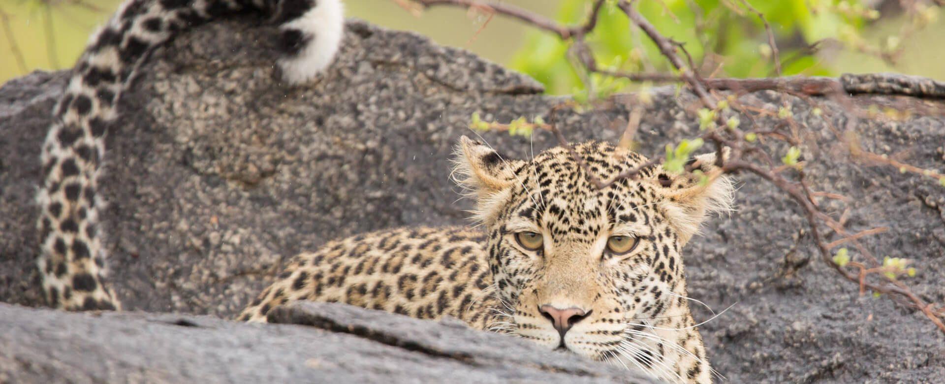 Upepo Safari - Leopard