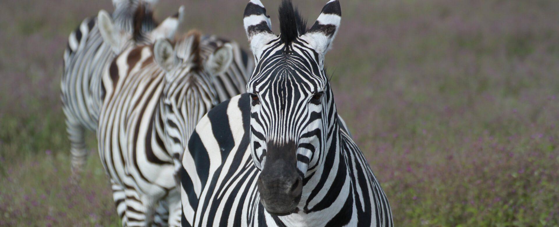 Upepo Safari - Zebras